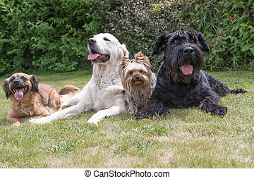 Dogs with a protruding tongue are lying on the lawn -...