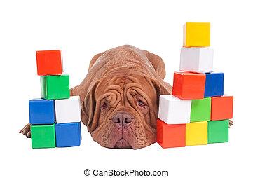 Dogue de bordeaux builder