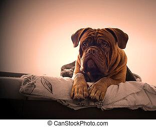 Dogue de Bordeaux in a bed