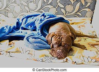 Dogue de Bordeaux in bed
