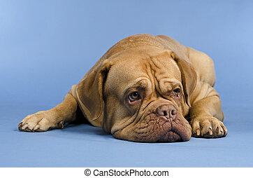 Dogue De Bordeaux lying