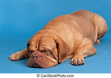 Dogue De Bordeaux sleeping