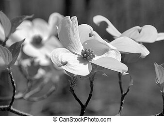 Dogwood blooms shown closeup during the spring of the year. Shown in black and white.
