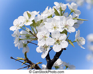 Dogwood in Bloom - This is a close-up shot of a dogwood ...