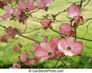 dogwood, in, primavera, closeup