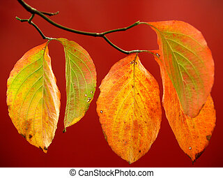 Dogwood Leaves on Red in Autumn - Dogwood leaves (Cornus...