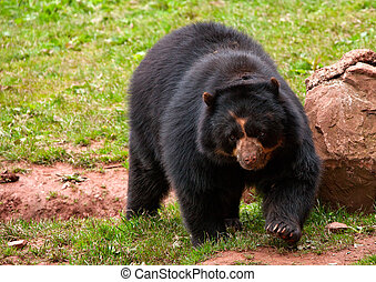 Doin my rounds - Andean Bear