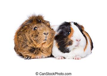 dois, adulto, porcos guinea