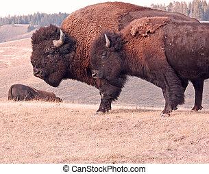 dois, bisonte, ligado, um, gramíneo, colina
