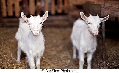 dois, cabras