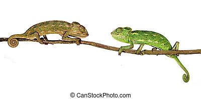 dois, camaleões