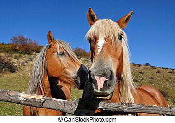 dois, cavalos