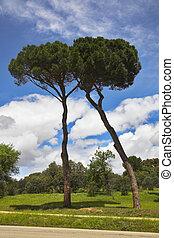dois, charming, árvores, ligado, um, glade