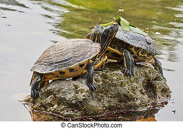 dois, cute, tartarugas, descanso, em, sol, ligado, lagoa