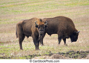 dois, de, europeu, bisonte, touros, pastar