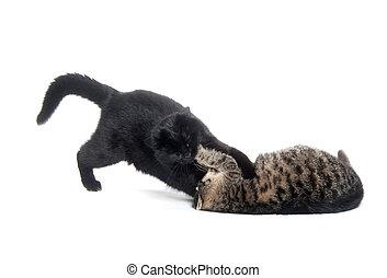 dois, gatos, tocando, e, luta