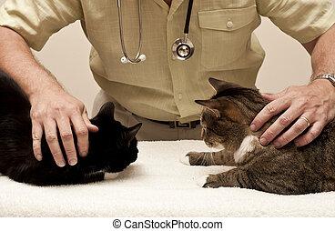 dois, gatos, visita, a, veterinário