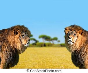 dois, grande, leão masculino
