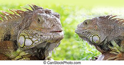 dois, iguana