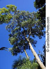 dois, koa, árvores, em, a, madeiras