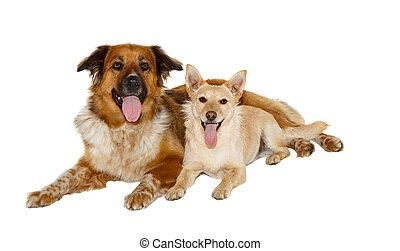 dois, olhar, câmera, fundo, branca, cachorros