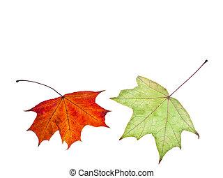 dois, outono, vermelho verde, maple sai