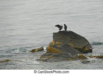 dois, pássaros mar