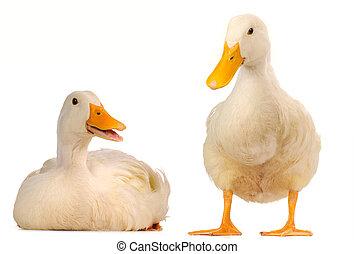 dois, pato