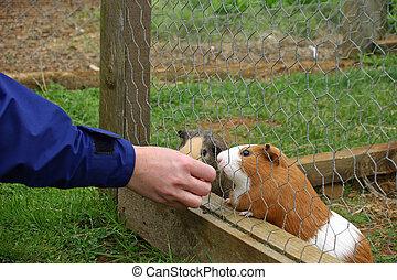 dois, porcos guinea, em, um, gaiola, sendo, alimentado, por, mão