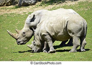 dois, rinoceronte branco, em, capim