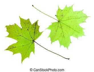 dois, verde, maple sai, isolado, branco, experiência.