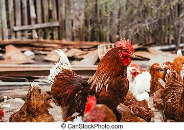 dokola, kuře, chůze, yard, kohout