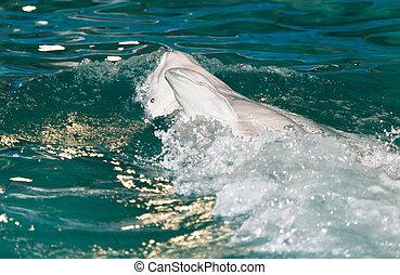 dolfijn, in, de, pool