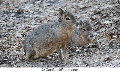 Dolichotis patagonum. Patagonian mara sitting down and waiting immovably beside another patagonian cavy for about a minute and then going out of frame