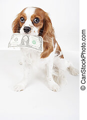 Dollar bill illustration. Dog with dollar bill illustrate animal costs. Spaniel dog with money. Pure bred cavalier king charles spaniel trained dog love to work. Bill.