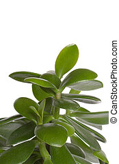 Dollar plant (crassula portulacea) leaves close up