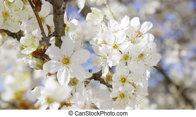 Dolly: Bee pollinating blooming fruit tree close-up