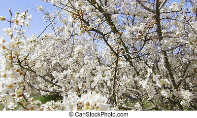 Dolly: Blooming fruit trees in the spring garden - Blooming...