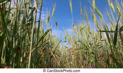 Dolly: Blue cloudy sky through green wheat stalks