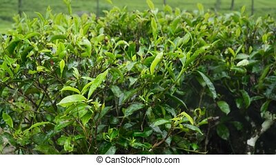Dolly footage of wet green tea leaves after rain in highland...