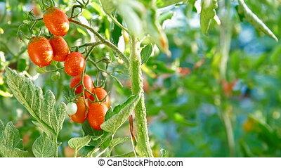 DOLLY: Fresh Plum Tomato - Fresh Plum Tomato in Vegetable...