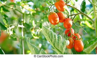 DOLLY: Fresh Ripe Tomato