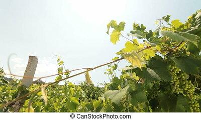 DOLLY: Green Grapes