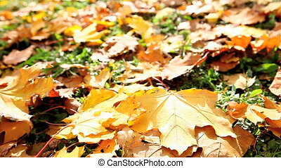 autumn leaves - dolly moving autumn leaves
