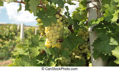 Dolly: Muscat White Grapes