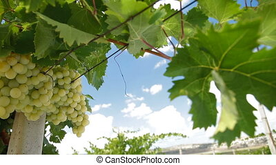 DOLLY: Muscat White Vineyard