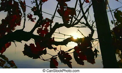Dolly: Rays of sunlight shine through red grape leaves in fall vineyard