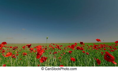 DOLLY: Red Poppies