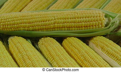 DOLLY: Row of Fresh Sweet Corn - Row of Fresh Sweet Corn In...