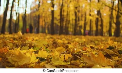 Autumn landscape - colorful maple leaves lie on the ground -...